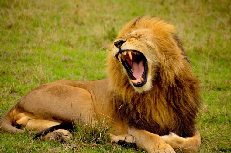 lion-692219_1280
