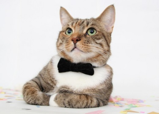 cat-with-bow-tie_2163