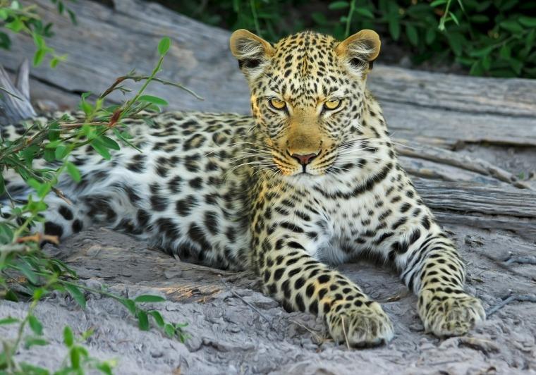 leopard-515508_1280