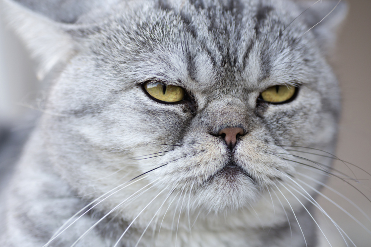A gray domestic cat looking serene