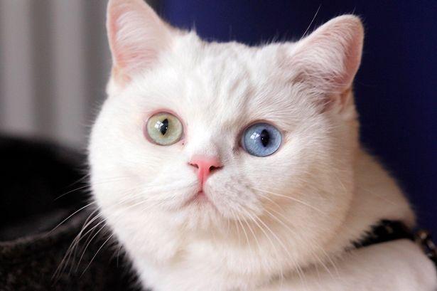 Bowie-cat_04