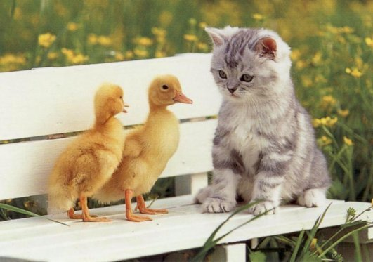 Cute-Chicks-and-a-kitten