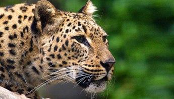 leopard_persian_01