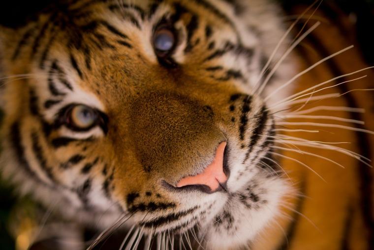 tiger-498543_1280